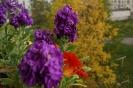 Балконные цветы (Фото 4)