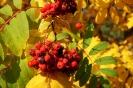 Осенняя рябина (Фото 4)