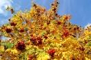 Осенняя рябина (Фото 3)