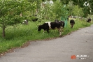 Коровы на ул. Гикалова (Качканар)